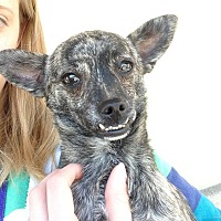 Chihuahua Mix Dog for adoption in Las Vegas, Nevada - Archie