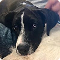 Adopt A Pet :: Giggles - ST LOUIS, MO