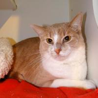 Domestic Shorthair/Domestic Shorthair Mix Cat for adoption in Fairfield, Iowa - Tris