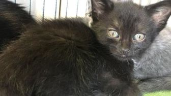 Domestic Shorthair/Domestic Shorthair Mix Cat for adoption in Lindsay, Ontario - Nox