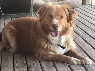 Nova Scotia Duck-Tolling Retriever Dog for adoption in McKenna, Washington - Prince White Paws