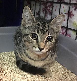Domestic Shorthair Kitten for adoption in East Brunswick, New Jersey - Elora