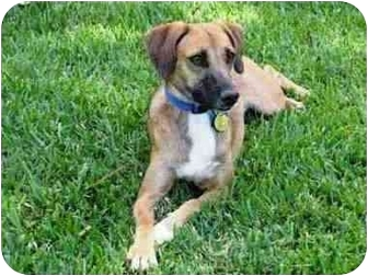 Jack Russell Terrier/Beagle Mix Dog for adoption in Sugar Land, Texas - Cassie