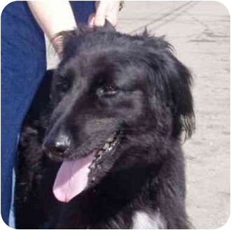 Flat-Coated Retriever/Borzoi Mix Dog for adoption in Berkeley, California - Bridget