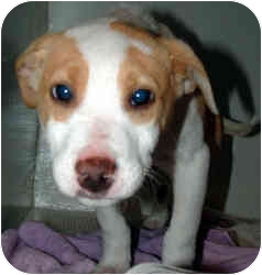 Hound (Unknown Type) Mix Puppy for adoption in Arlington, Virginia - Iggy