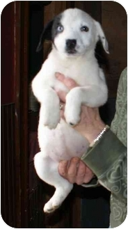 Australian Shepherd Mix Puppy for adoption in Millerton, Pennsylvania - Aus shep mix 3