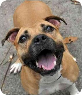 American Pit Bull Terrier/Mastiff Mix Dog for adoption in Trucksville, Pennsylvania - **Dolly <3*