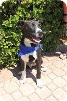 Labrador Retriever/Collie Mix Puppy for adoption in Miami, Florida - Prince