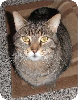 Domestic Shorthair Cat for adoption in Jackson, Michigan - Ronald