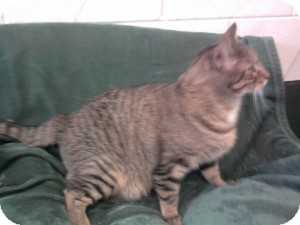 Domestic Shorthair Cat for adoption in Schererville, Indiana - Baxter