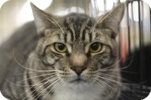 Domestic Shorthair Cat for adoption in Sacramento, California - Oliver