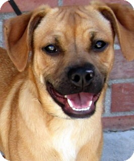 Shepherd (Unknown Type) Mix Dog for adoption in Los Angeles, California - Brinkley *VIDEO*