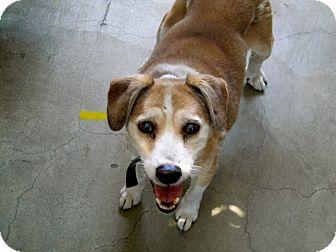 Beagle/Springer Spaniel Mix Dog for adoption in Valley Village, California - SUNNY