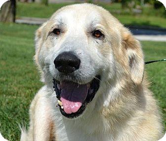 Great Pyrenees/Golden Retriever Mix Dog for adoption in Brattleboro, Vermont - Avis