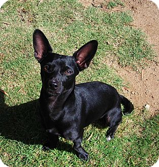 Chihuahua Mix Dog for adoption in El Cajon, California - Perry