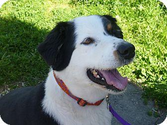 Australian Shepherd Mix Dog for adoption in Grants Pass, Oregon - Mac