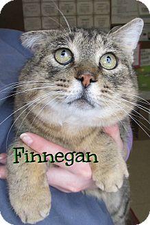 Domestic Shorthair Cat for adoption in Menomonie, Wisconsin - Finnegan