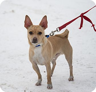 Chihuahua Mix Dog for adoption in Navan, Ontario - Poncho