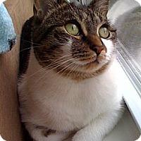 Adopt A Pet :: Bella - Fairfield, CT