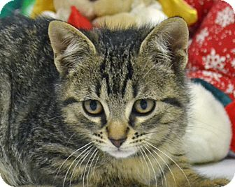 Domestic Shorthair Cat for adoption in Searcy, Arkansas - Arlo