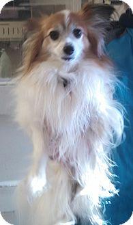 Papillon Dog for adoption in Wichita, Kansas - Lacy