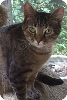 Domestic Shorthair Cat for adoption in Covington, Kentucky - Sweet Earth