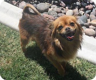 Tibetan Spaniel Mix Dog for adoption in Henderson, Nevada - AJ