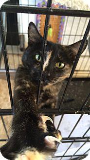 Domestic Shorthair Kitten for adoption in Oakdale, California - Jasmine
