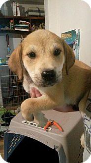 Labrador Retriever Mix Dog for adoption in House Springs, Missouri - hank