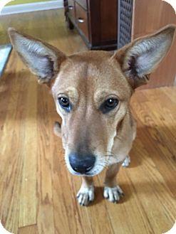 Australian Shepherd Mix Dog for adoption in Jersey City, New Jersey - Piper Kerman