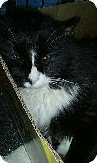 Domestic Mediumhair Cat for adoption in Trevose, Pennsylvania - Skywalker
