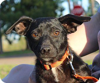 Dachshund Mix Puppy for adoption in kennebunkport, Maine - Linus - in Maine