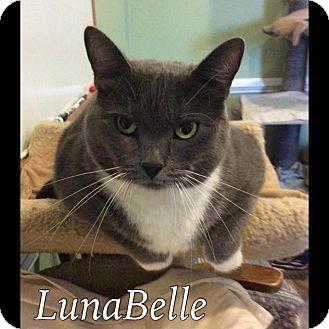 Domestic Shorthair Cat for adoption in Breinigsville, Pennsylvania - LunaBelle
