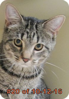 Domestic Shorthair Cat for adoption in Gaylord, Michigan - Sasha