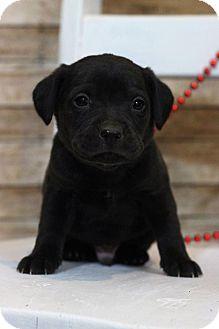 Labrador Retriever Mix Puppy for adoption in Waldorf, Maryland - Albert