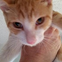Domestic Shorthair Cat for adoption in Hudson, Florida - Mickey