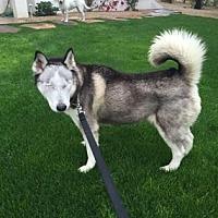 Siberian Husky Mix Dog for adoption in Scottsdale, Arizona - Alaska