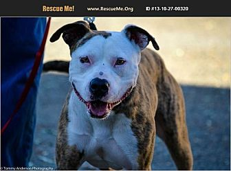 American Staffordshire Terrier/Boxer Mix Dog for adoption in Norco, California - Sheba