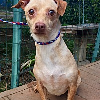 Dachshund/Australian Terrier Mix Dog for adoption in Santa Ana, California - Georgie
