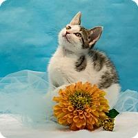 Adopt A Pet :: Cirrus - Houston, TX