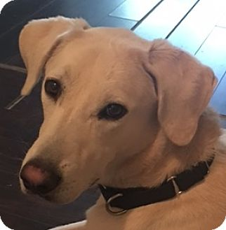 Labrador Retriever Mix Puppy for adoption in Newnan, Georgia - Newton
