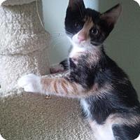 Adopt A Pet :: Colette - Woodland Park, NJ