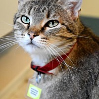Adopt A Pet :: Artemis - Lakewood, CO