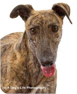 Greyhound Dog for adoption in Cottonwood, Arizona - Kobie