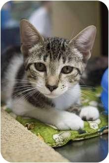 Domestic Shorthair Kitten for adoption in New Port Richey, Florida - Whitney