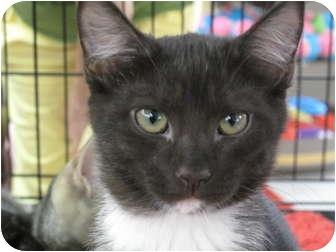 Domestic Shorthair Kitten for adoption in Port Republic, Maryland - JellyBean