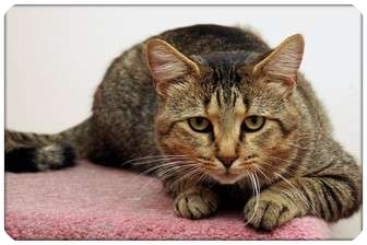 Domestic Shorthair Cat for adoption in Sterling Heights, Michigan - Burrito - ADOPTED!