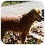 Photo 3 - Golden Retriever Dog for adoption in Knoxville, Tennessee - Emily
