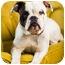 Photo 1 - English Bulldog/Boxer Mix Dog for adoption in Portland, Oregon - Jane