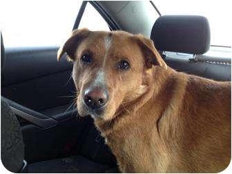 Nova Scotia Duck-Tolling Retriever/Lancashire Heeler Mix Dog for adoption in Spruce Grove, Alberta - Django